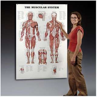 Giant Muscular System Chart, Muscles Charts Anatomical