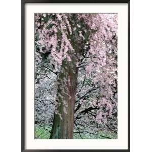 Cherry Blossoms and Red Cedar Tree Trunk, Washington, USA