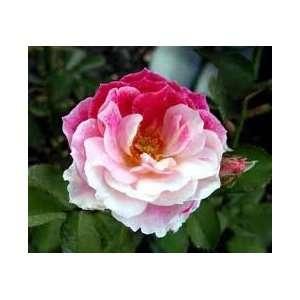 Cherrie N Cream Rose Seeds Packet Patio, Lawn & Garden
