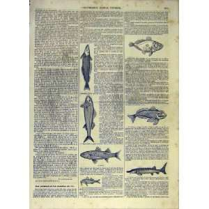 Fish Railway Food Cuisine Mullet French Print 1854 Home