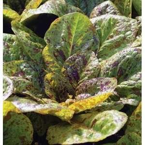 Davids Non Hybrid Organic Speckled Lettuce Flashy Trout