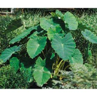 Van Zyverden Extra Large Elephant Ear Bulbs (Pack of 6) 70224 at The
